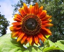 Red_sunflower